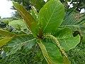 Starr-180421-0320-Terminalia catappa-flowers leaves-Honolua Lipoa Point-Maui (28572617347).jpg