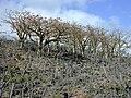 Starr 010714-0020 Erythrina sandwicensis.jpg