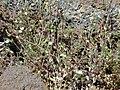 Starr 021114-0081 Arenaria serpyllifolia.jpg