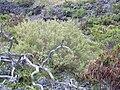 Starr 030628-0131 Chenopodium oahuense.jpg
