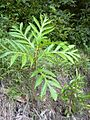Starr 030807-0103 Artocarpus altilis.jpg