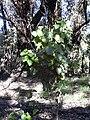 Starr 040105-0091 Croton guatemalensis.jpg