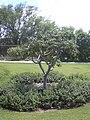 Starr 040318-0026 Munroidendron racemosum.jpg