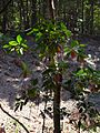 Starr 041113-0640 Cinchona pubescens.jpg