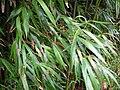 Starr 050107-2878 Phyllostachys nigra.jpg