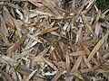 Starr 050107-2898 Phyllostachys nigra.jpg