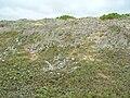 Starr 050519-1742 Gnaphalium sandwicensium var. molokaiense.jpg