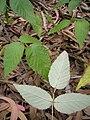 Starr 051123-5475 Rubus glaucus.jpg