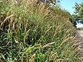Starr 061212-2291 Melinis minutiflora.jpg