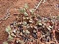 Starr 070221-4690 Trianthema portulacastrum.jpg