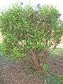 Starr 070525-7174 Myrtus communis.jpg