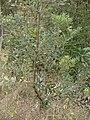 Starr 070621-7462 Banksia integrifolia.jpg