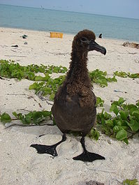 Phoebastria nigripes (Black-footed Albatross) at Midway Atoll