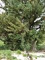 Starr 080610-8115 Juniperus bermudiana.jpg