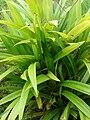 Starr 080610-8286 Pandanus amaryllis.jpg