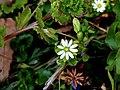 Stellaria aquatica.jpg