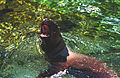 Steller Sea Lions(Vancouver)01(js).jpg