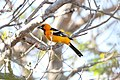 Streak-backed Oriole.jpg