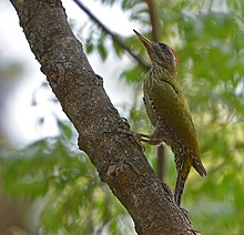 Streak Throated Woodpecker (7554092814).jpg