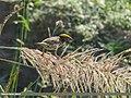 Streaked Weaver (Ploceus manyar) (37094995323).jpg