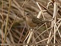Striated Babbler (Turdoides earlei) (32434481473).jpg