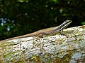 Striped Tree Skink (Dasia vittata) (6760631793).jpg