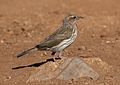 Striped pipit, Anthus lineiventris, at Walter Sisulu National Botanical Garden, Gauteng, South Africa (29003800770).jpg