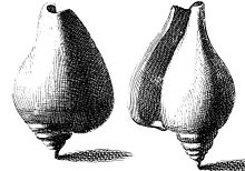 Drawings of two upright dog conch shells
