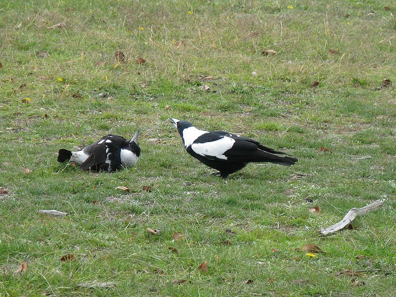 File:SubmissiveMagpie.jpg