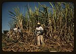 Sugar cane worker in the rich field 1a34013v.jpg