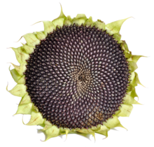 Sunflower with black seeds.png