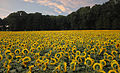 Sunflowers for Wishes, field, Connecticut.jpg