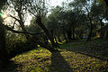 Sunset at olive grove (Moneglia, IT) (15274111609).jpg