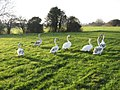 Swan refugees at Bear Mead - geograph.org.uk - 1187132.jpg
