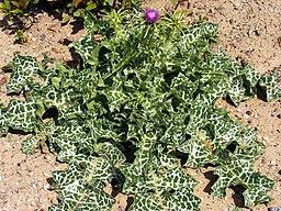 Sylibum marianum Puertollano