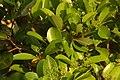 Syzygium caryophyllatum at Neeliyar Kottam 01.jpg