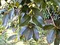 Syzygium gerrardii, KwaZulu-Natal NBT, PMB.jpg