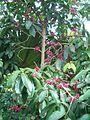 Syzygium malaccense BotGardBln07122011C.JPG