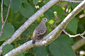 Tórtola Coquita, Common Ground Dove, Columbina passerina (11060616295).jpg