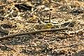 Talvike - Yellowhammer - Emberiza Citrinella (3).jpg