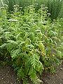 Tanacetum macrophyllum (Compositae) plant.JPG
