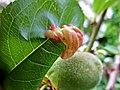 Taphrina deformans (Taphrinaceae) - (gall), Mook, the Netherlands - 2.jpg