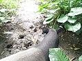 Tapir in Zoo Negara Malaysia (6).jpg