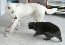 Witte Herder met kat