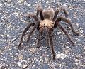 Tarantula (5102705979).jpg