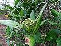 Tarenna asiatica - Asiatic Tarenna 02.jpg