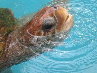 Projeto TAMAR - Sea Turtle at Praia do Forte, Bahia, Brazil.