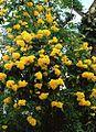 Tecoma Stans (Yellow Elder) (28819080181).jpg