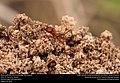 Texas Leafcutter Ant (Formicidae, Atta texana) (29196641871).jpg