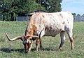 Texas longhorn.jpg